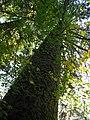 Tsuga heterophylla in Seymour Valley Vancouver.jpg