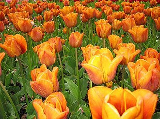 Duin- en Bollenstreek - Tulips at Keukenhof