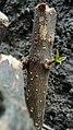Tunas baru pohon cincau.jpg