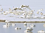 Tundra swans by D Montgomery (5220893569).jpg