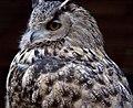 Turkmenian Eagle Owl (3938570098).jpg