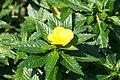 Turnera ulmifolia 12zz.jpg