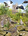 Turtle Dove from the Crossley ID Guide Britain and Ireland.jpg
