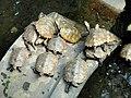 Turtles - Gichuji - Otsu, Shiga - DSC06862.JPG