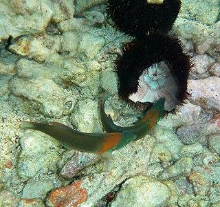 Two Saddle Wrasse are feeding on sea urchin