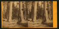 Two Sentinels, 312 ft. high, 69 ft. in in circumference. Mammoth Tree Grove, Calaveras County, California, by Muybridge, Eadweard, 1830-1904.png