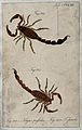 Two scorpions; Tityus perfidus and Tityus fatalis. Coloured Wellcome V0022429EL.jpg