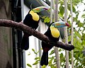 Two toucans on a branch.jpg