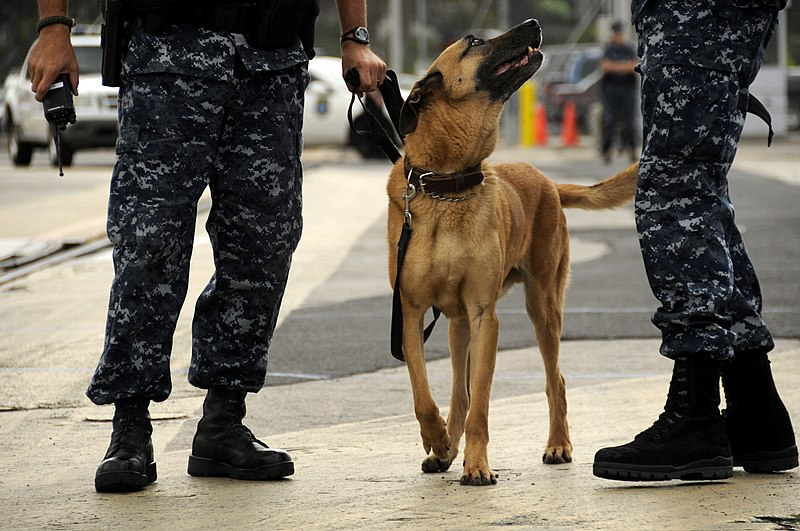 File:US Navy 100323-N-7498L-233 Joint Base Pearl Harbor-Hickam security military dog Rossi arrives at the pier to search for hidden improvised explosive devices during exercise Solid Curtain-Citadel Shield 2010.jpg