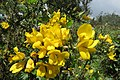 Ulex europaeus - common gorse - at Ooty 2014 (1).jpg