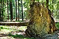 Umgestürzter Baum im Nationalpark Hunsrück-Hochwald.jpg