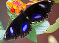 Unidentified butterfly 01.jpg