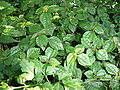 Unknown Urticaceae Pilea.jpg