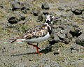 Uran-ruddy-turnstone4 - Flickr - Lip Kee.jpg