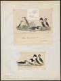 Uria lomvia - 1700-1880 - Print - Iconographia Zoologica - Special Collections University of Amsterdam - UBA01 IZ17800311.tif