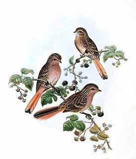 Przevalskis finch species of bird