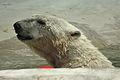 Ursus maritimus at the Bronx Zoo 015.jpg