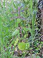 Urtica dubia 2006.03.29 17.30.34-p3290394.jpg