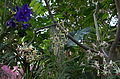 Vanda lamellata and other orchids.jpg