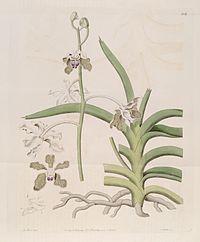 Vanda tessellata (as Vanda roxburghii) - Bot. Reg. 6 pl.506 (1820).jpg