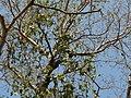 Vando (Gujarati- વંદો) (3263022808).jpg
