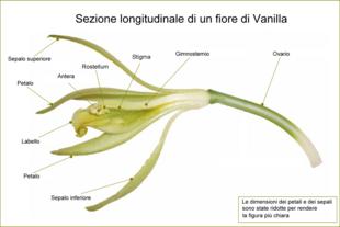 Sezione longitudinale di un fiore di Vanilla planifolia