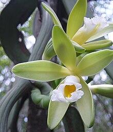 Vanilla chamissonis habitat.JPG
