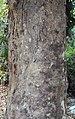 Vateria indica 11.JPG