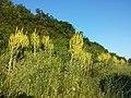 Verbascum speciosum sl15.jpg
