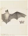 Vespertilio isabellinus - 1700-1880 - Print - Iconographia Zoologica - Special Collections University of Amsterdam - UBA01 IZ20800177.tif