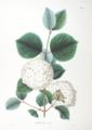 Viburnum plicatum SZ37.png