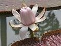 Victoria amazonica - Giant Water Lily at Nilambur (1).jpg