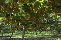View across kiwifruit orchard under vines full with kiwifruit.jpg
