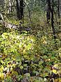 Vincetoxicum rossicum SCA-05090.jpg