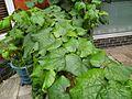 Vitis coignetiae leaves.jpeg