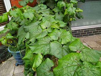Vitis coignetiae - Image: Vitis coignetiae leaves