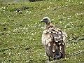 Vltures 02.jpg