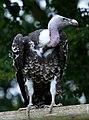 Vulture 8 (6022559598).jpg