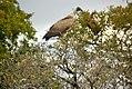 Vultures (5970333699).jpg