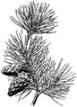 WWB-0309-151-Pinus sylvestris-crop.png