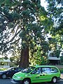 Waldo Park tree with Salem taxi.JPG