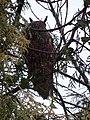 Waldohreule in Kalkar PM18-01.jpg