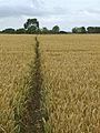 Walk through the wheat, Broomfleet - geograph.org.uk - 907615.jpg