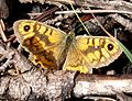 Wall Brown. Male. Lasiommata megera. January - Flickr - gailhampshire.jpg