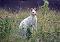 Wallaby de Bennett (Zoo Amiens)2.JPG