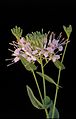 Warea amplexifolia.jpg