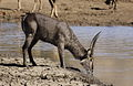 Waterbuck, Kobus ellipsiprymnus, drinking in Pilanesberg National Park (11154984786).jpg