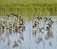 Waterfowl utilize flooded rice fields in Chambers County, Texas, for feeding, resting and roosting. These fields were enrolled in the national Migratory Bird Habitat Initiative (MBHI).NRCS photo by Beverly Moseley. (24489732003).jpg