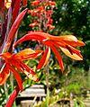Watsonia fulgens 3.jpg