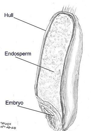 The seed is sectioned to reveal the embryo and...